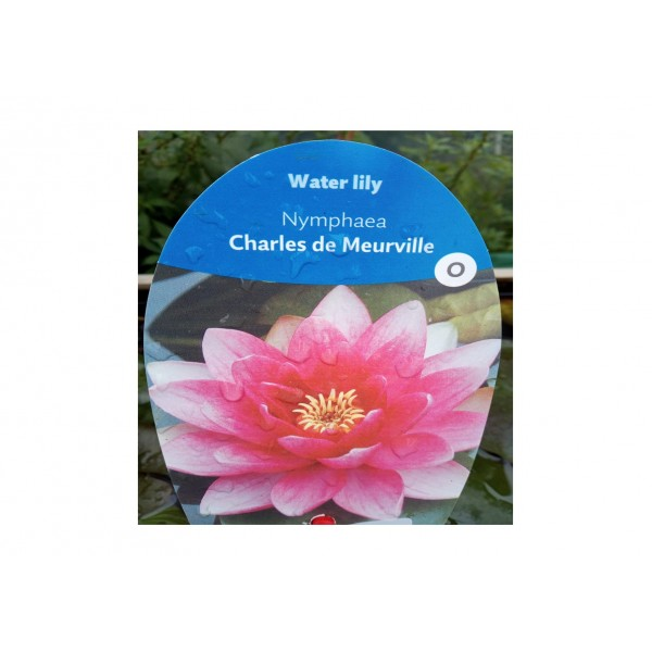 Water Lilly - Nympaea 'Charles de Meurville'