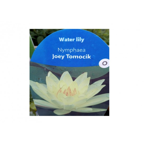 Water Lilly - Nympaea 'Joey Tomocik'