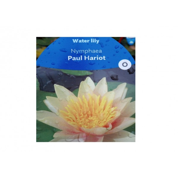 Water Lilly - Nympaea 'Paul Hariot'
