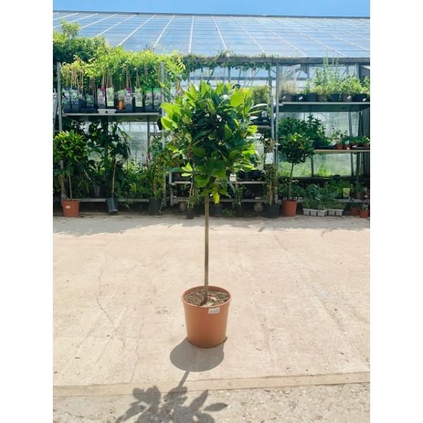 Bay Tree - Laurus Nobilis on stem (Medium)