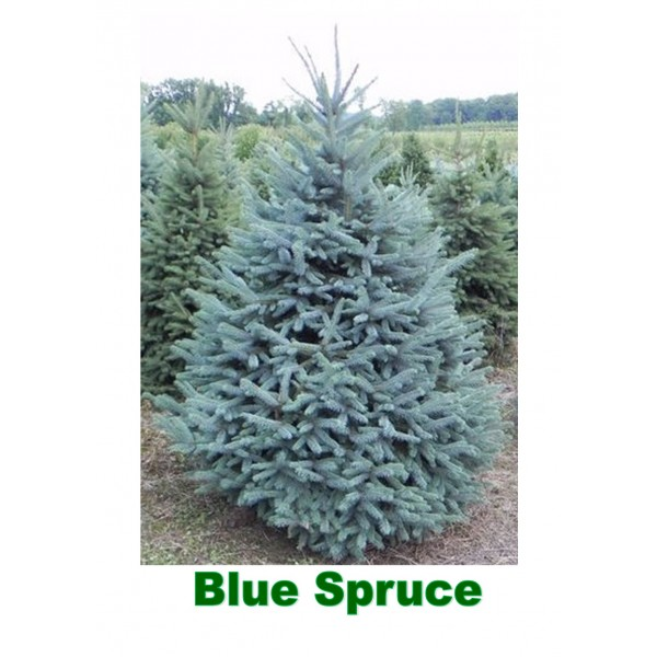 Blue Spruce (Pungens Glauca) Potted Christmas Tree - 3ft