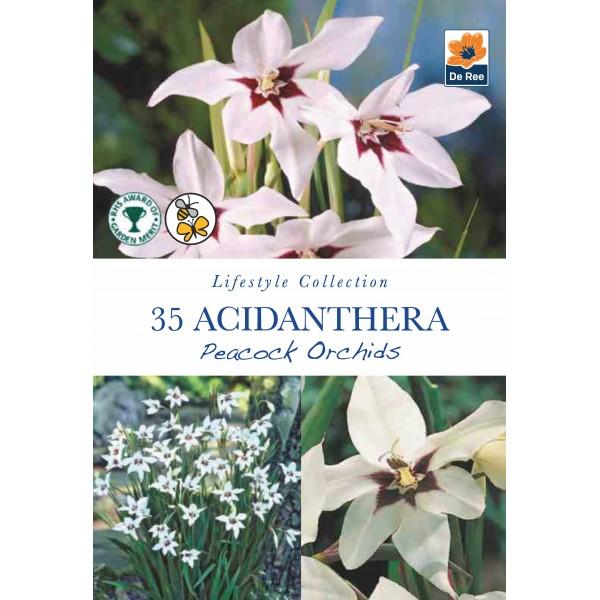 De Ree Acidanthera Peacock Orchids