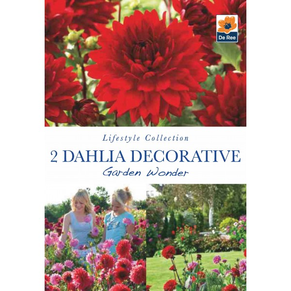 De Ree Dahlia Decorative Garden Wonder