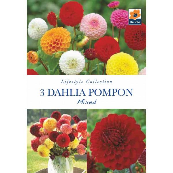 De Ree Dahlia Pompon Mixed