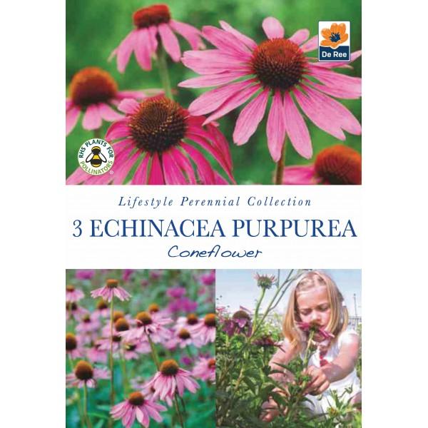 De Ree Echinacea Purperea - Coneflower