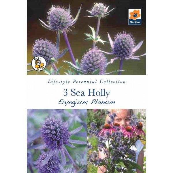 De Ree Sea Holly - Eryngium Planum