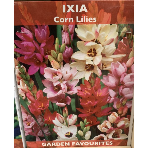 Ixia Corn Lilies - 20 Bulbs per pack