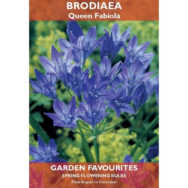 Brodiaea Queen Fabiola  - 15 Bulbs per pack