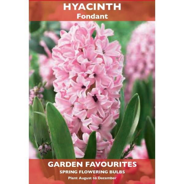 Hyacinth Fondant - 2 Bulbs per pack