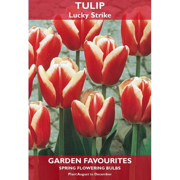 Tulip Lucky Strike - 5 Bulbs per pack