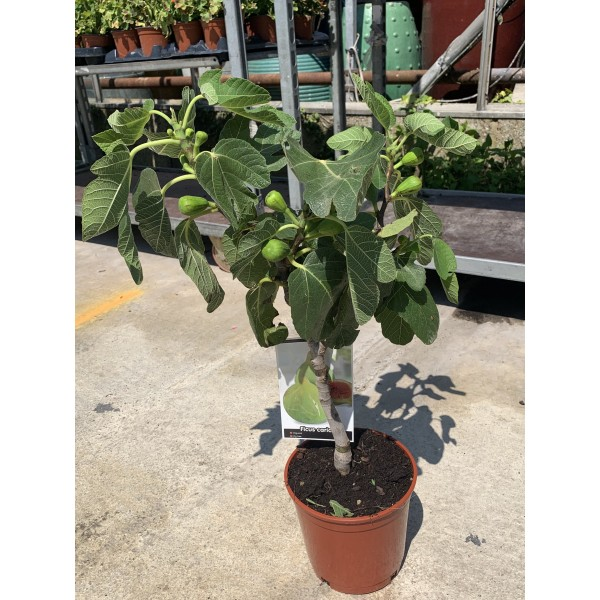 Ficus Carica (Fig Tree) - Napolitana - x1