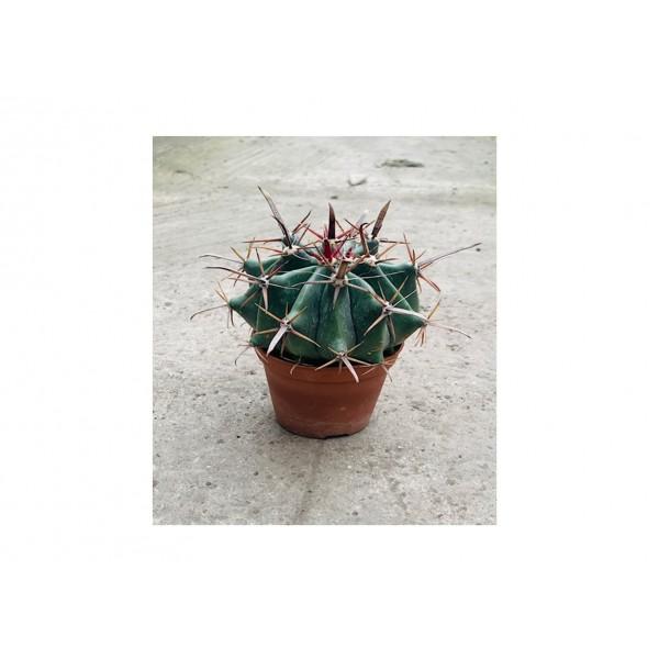 Cactus Canarias mix