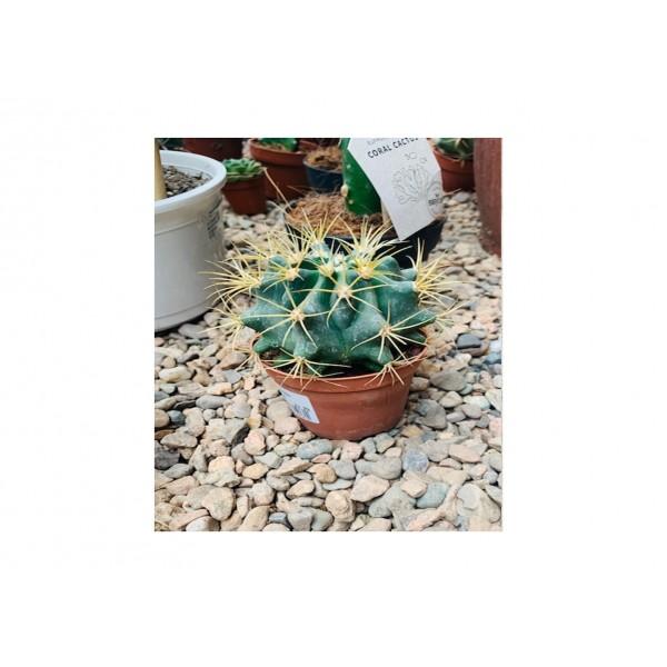 Cactus Canariensis