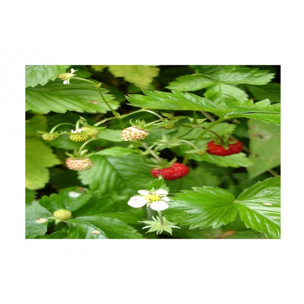 Kings Alpine Strawberry