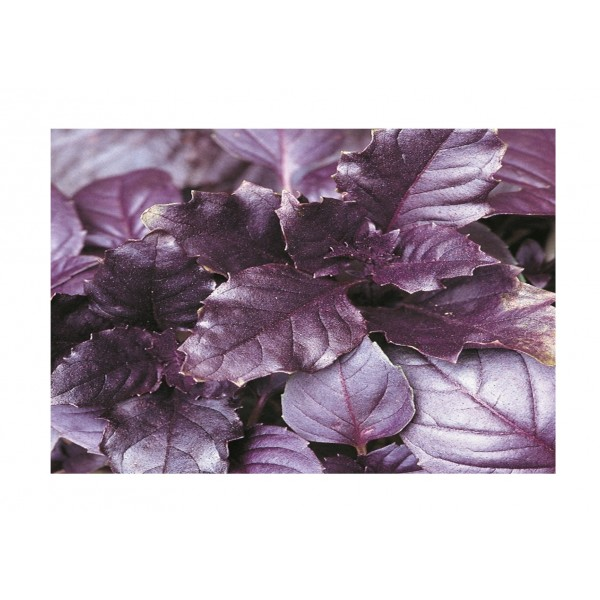 Kings Basil  Purple