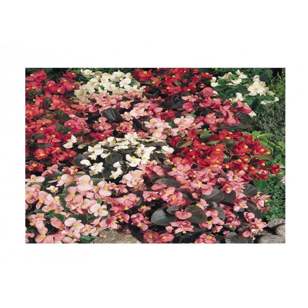 Kings Begonia  Sunshine Carpet