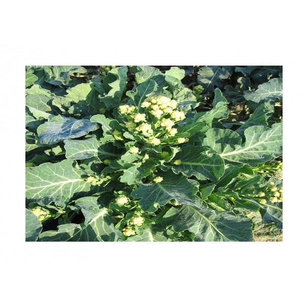 Kings Broccoli Sprouting Burbank F1