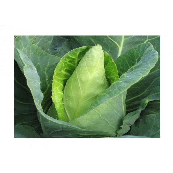 Kings Cabbage  Caraflex F1