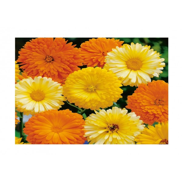 Kings Calendula Art Shades Mixed