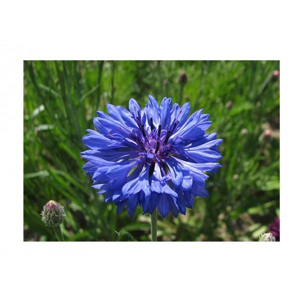 Kings Cornflower Double Blue