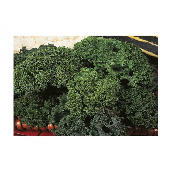 Kings Kale Dwarf Green Curled