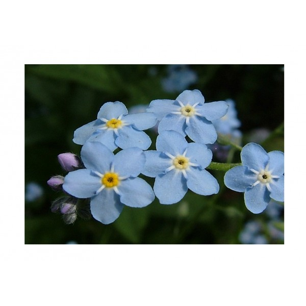 Kings Forget Me Not Light Blue