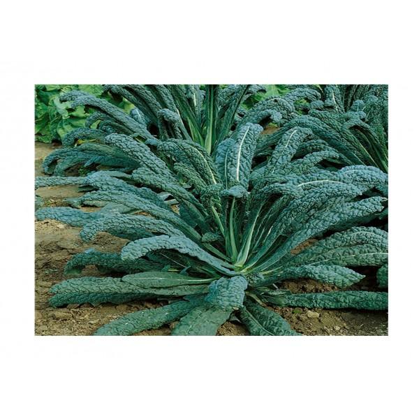 Kings Kale Nero Di Toscana