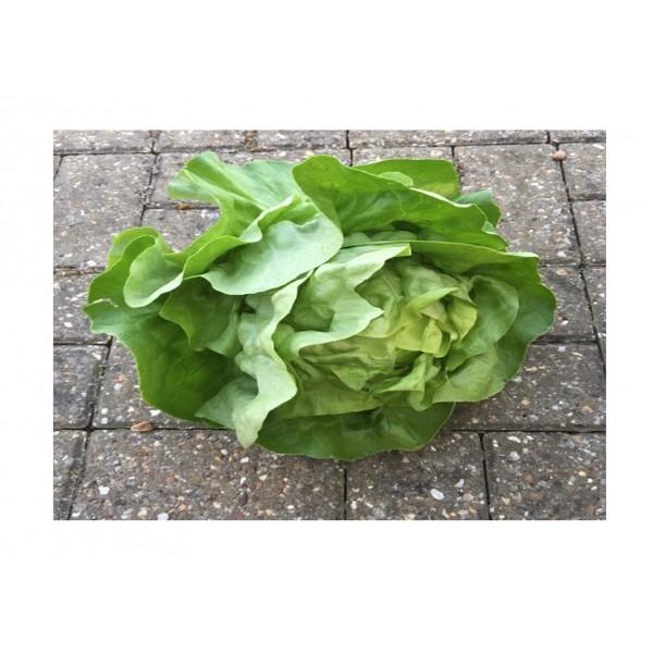 Kings Lettuce  Analena