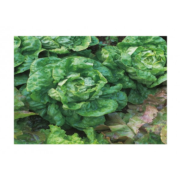 Kings Lettuce All Year Round