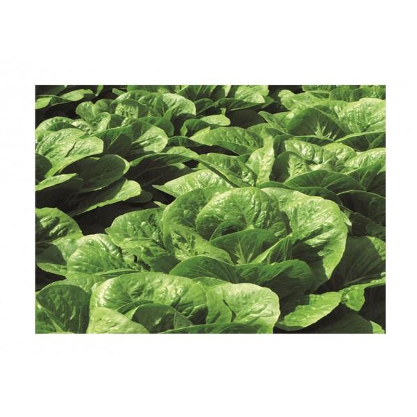 Kings Lettuce Claremont