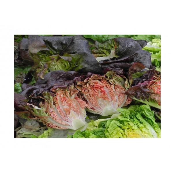 Kings Lettuce  Intred