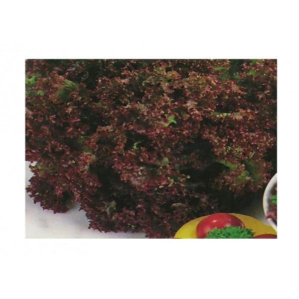Kings Lettuce  Lollo Rossa