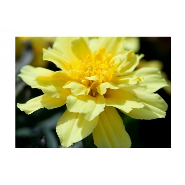 Kings Marigold French Alumia Vanilla