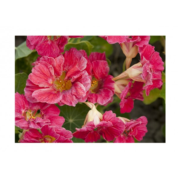 Kings Nasturtium Cherry Rose Jewel