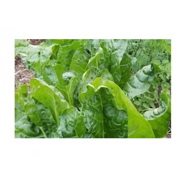 Kings Leaf Beet Perpetual Spinach