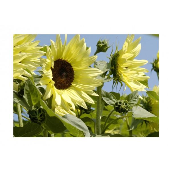 Kings Sunflower Buttercream F1