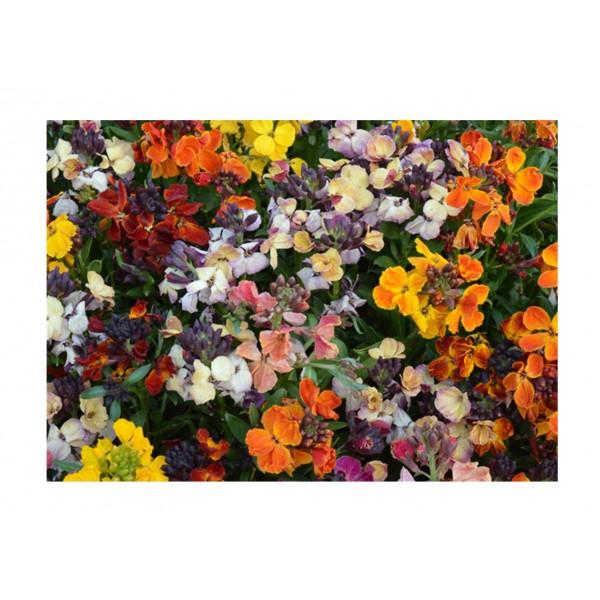 Kings Wallflower Persian Carpet Mixed