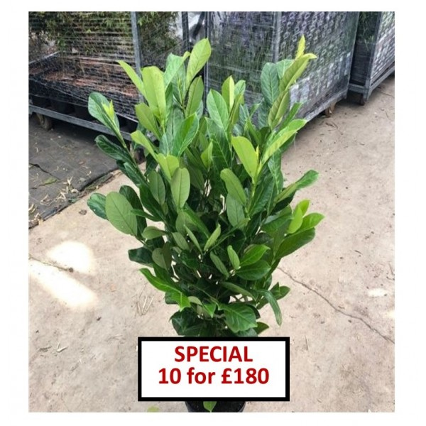 Laurel Evergreen Hedging Plant - x1