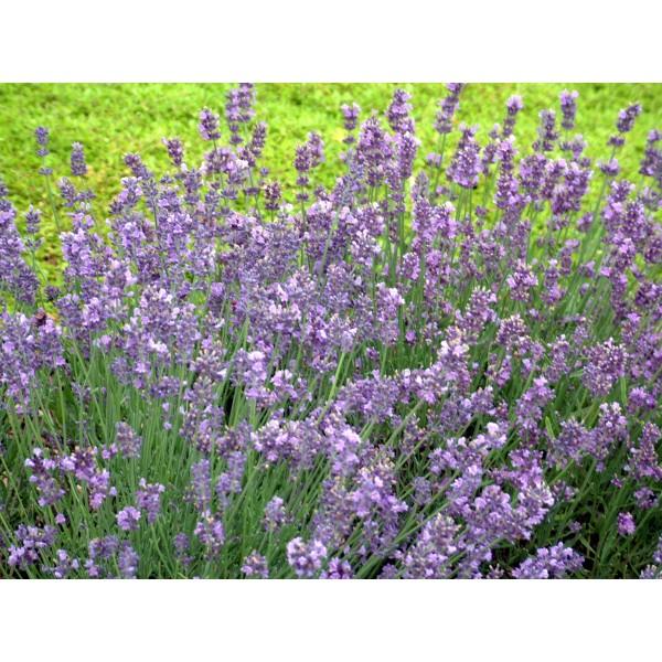 Lavender - augustifolia Munstead x1