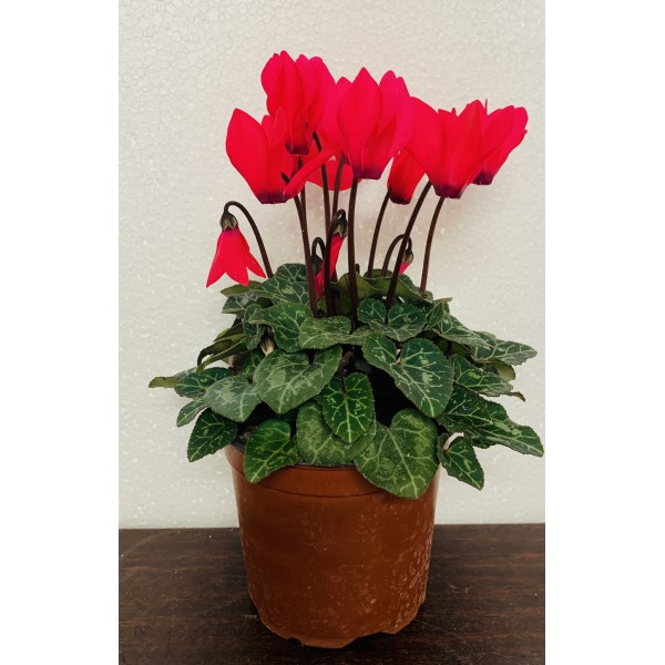 Cyclamen - 4x Pink Special Offer £7