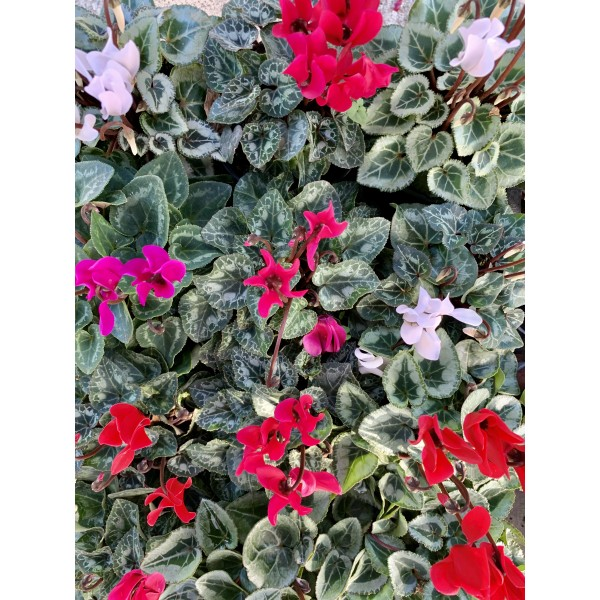 Cyclamen - 4x mixed colour Special Offer for £7