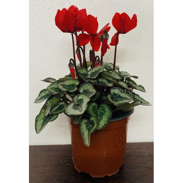 Cyclamen - 4x Red Special Offer for £7