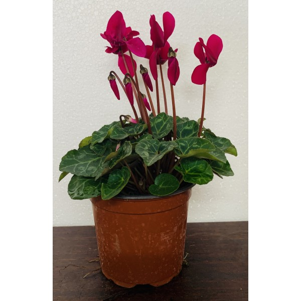Cyclamen - 4x Purple Special Offer for £7