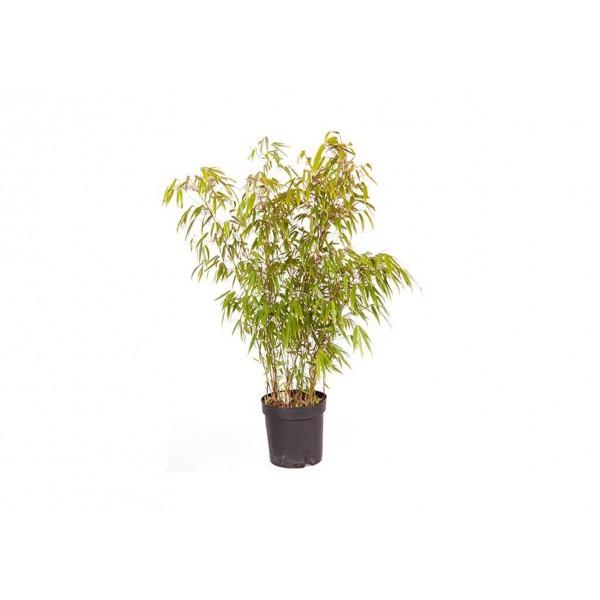 Bamboo - Fargesia Rufa - 200 - x1