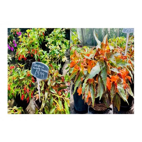 """Begonias 12"""" Hanging Baskets"""