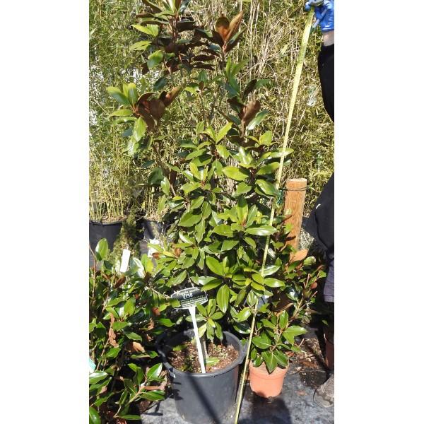 Magnolia Grand Specimen