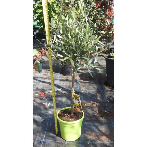 Olive Mini Standard