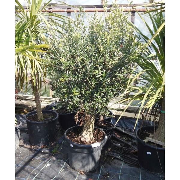 Olive Standard Specimen