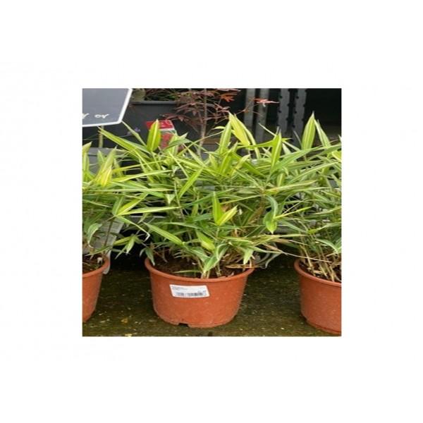 Bamboo - Dwarf ' Pleioblastus' Gold - x1