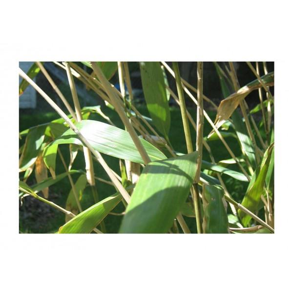 Bamboo - Pseusosas Jaonica - x1